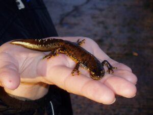 Newt population decline set to reverse under new scheme which rewards landowners for creating ponds