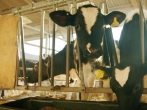 Boost dairy calf returns and compliance with Breedr
