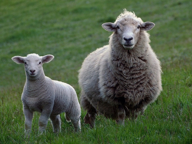 Ruminant Health & Welfare responds to Defra consultation on animal transport