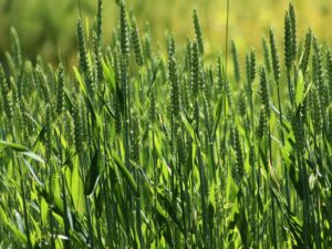 Read more about the article Use foliar N on spring wheat for maximum returns