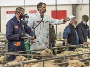 Dorset sheep set bidders alight at Exeter May Fair
